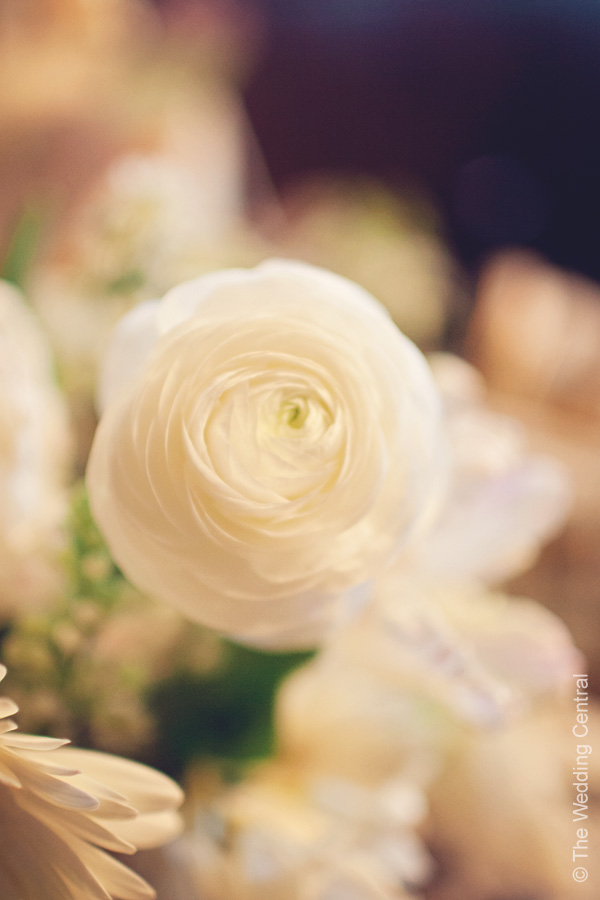 white garden rose - new jersey photographer